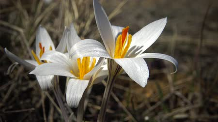 çiğdem : Crocus reticulatus. A perennial bulbous plant in the wild on the slopes of the Tiligul estuary, the Red Book of Ukraine