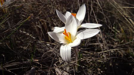 florido : Crocus reticulatus. A perennial bulbous plant in the wild on the slopes of the Tiligul estuary, the Red Book of Ukraine