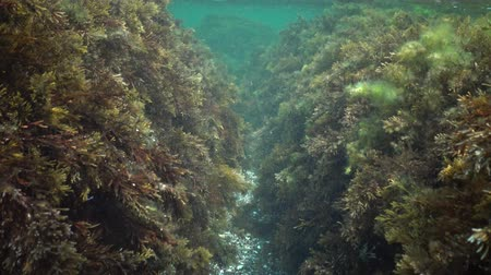 algler : Kelp Cystoseira barbata and green algae in the coastal zone of the sea Stok Video