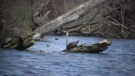 reptile : The turtle rests on a dead tree in the Carnegie Lake, young water lily leaves in water