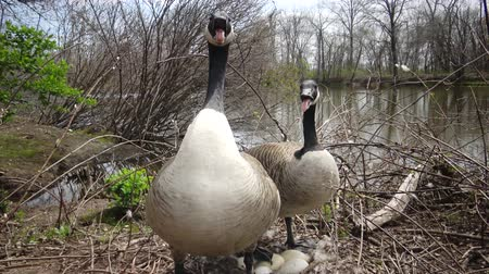 marchs financiers : The Canada goose (Branta canadensis), birds guard the nest with eggs Stock Footage