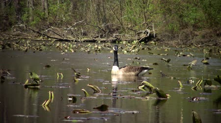 marchs financiers : The Canada goose (Branta canadensis), birds floating on the lake among the leaves of water lilies, Karnegy Like, NJ USA