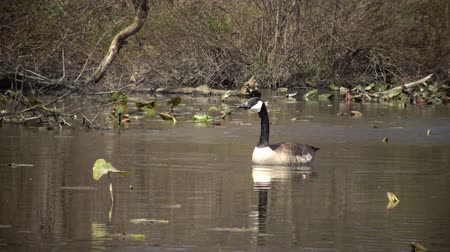 kanadský : The Canada goose (Branta canadensis), birds floating on the lake among the leaves of water lilies, Karnegy Like, NJ USA