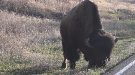 çiftleşme : The American bison or buffalo (Bison bison). The Theodore Roosevelt National Park, North Dakota