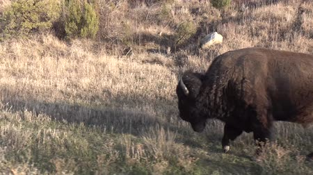 mating season : The American bison or buffalo (Bison bison). The Theodore Roosevelt National Park, North Dakota
