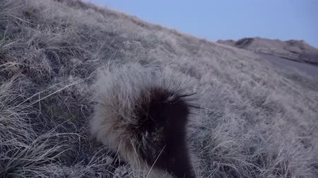 mammalia : The North American porcupine (Erethizon dorsatum), also known as the Canadian porcupine or common porcupine Stock Footage