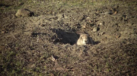 préri : Black-tailed prairie dogs (Cynomys ludovicianus) near the mink on the field. Prairie Dog Town at Theodore Roosevelt National Park