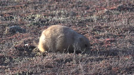 mink : Black-tailed prairie dogs (Cynomys ludovicianus) near the mink on the field. Prairie Dog Town at Theodore Roosevelt National Park