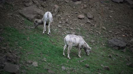 glacier national park : Bighorn Sheep (Ovis canadensis) are the rarest big game species in North Dakota.