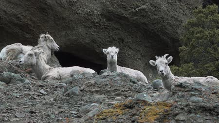 anyajuh : Bighorn Sheep (Ovis canadensis) on mountain slopes, Montana, USA