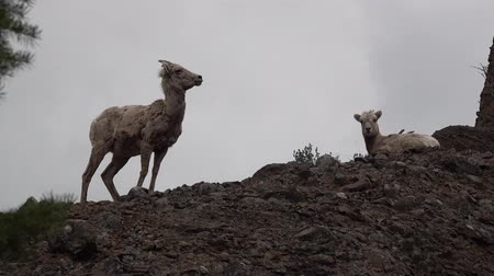 ewe : Bighorn Sheep (Ovis canadensis) on mountain slopes, Montana, USA