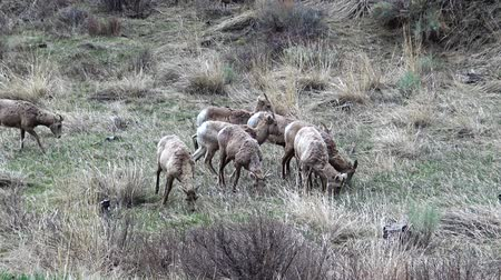 ewe : Bighorn Sheep (Ovis canadensis) are the rarest big game species in North Dakota, USA.