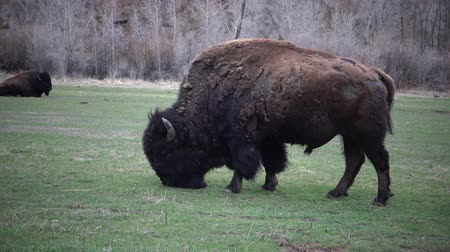 mating season : Mammals of Montana. The American bison or buffalo (Bison bison) eat green grass on the field.