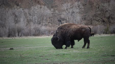 Вайоминг : Mammals of Montana. The American bison or buffalo (Bison bison) eat green grass on the field.