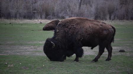 prairie : Mammals of Montana. The American bison or buffalo (Bison bison) eat green grass on the field.