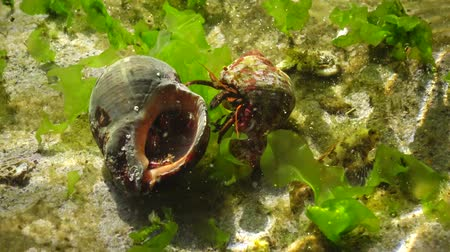 homar : Hermit crab (Clibanarius erythropus) in the shell Rapana venosa
