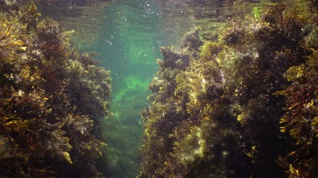 řasa : Kelp Cystoseira barbata and green algae in the coastal zone of the sea Dostupné videozáznamy