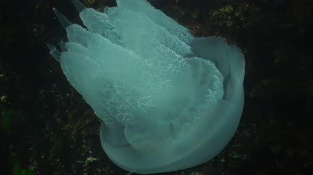 rhizostoma : Rhizostome jellyfish (Rhizostoma pulmo). Barrel jellyfish swims in the water column, Black Sea.