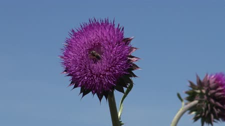kalifornie : Carduus nutans, nodding thistle - weed, on the flowers of which there are many different insects