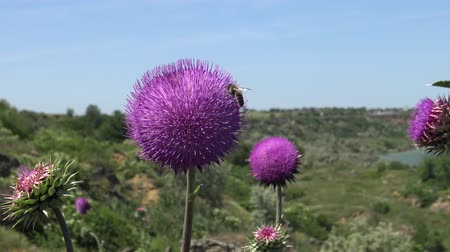 biodiversidade : Carduus nutans, nodding thistle - weed, on the flowers of which there are many different insects
