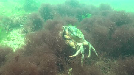 homar : Fauna of the Black Sea. Male and female of Green crab (Carcinus maenas) during mating