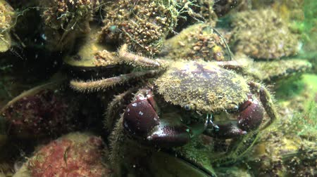 homar : Bristly crab, hairy crab (Pilumnus hirtellus). Fauna of the Black Sea.