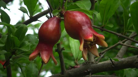 кусты : The pomegranate (Punica granatum) young flowers, a botanical garden. Ukraine