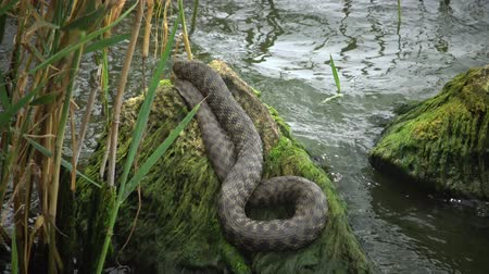 hayvanat : The dice snake (Natrix tessellata) Stok Video