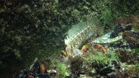 zooloji : Fish of the Black Sea, Tentacled blenny (Parablennius tentacularis) Stok Video