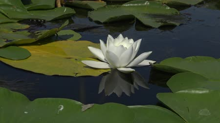 покрытосеменных : Beautiful white water lily (Nymphaea alba), Kugurluy, Ukraine. A plant listed in the Red Book of Ukraine