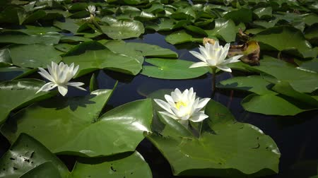 anjiyospermler : Beautiful white water lily (Nymphaea alba), Kugurluy, Ukraine. A plant listed in the Red Book of Ukraine