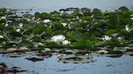 lilyum : Beautiful white water lily (Nymphaea alba), Kugurluy, Ukraine. A plant listed in the Red Book of Ukraine