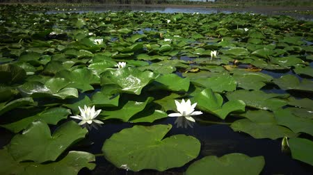 покрытосеменных : Beautiful white water lily (Nymphaea alba), Kugurluy, Ukraine. A beautiful white water lily on the lake, Kugurluy, Ukraine. A plant listed in the Red Book of Ukraine Стоковые видеозаписи