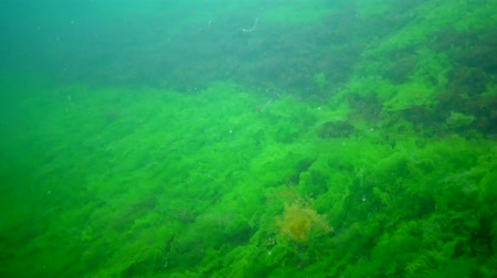 zoologia : Algae of the Black Sea. Green and red algae on the rocks on the seabed. Underwater landscape. Black Sea