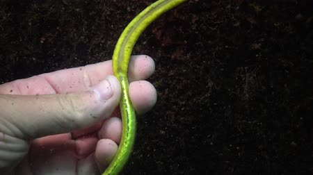 halászok : Male with yellow-green female broad-nosed pipefish Stock mozgókép