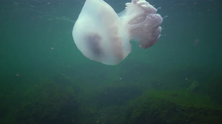 podwodny swiat : (Rhizostoma pulmo), commonly known as the jellyfish Black sea
