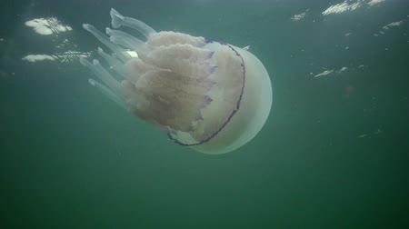scyphozoa : (Rhizostoma pulmo), commonly known as the jellyfish Black sea