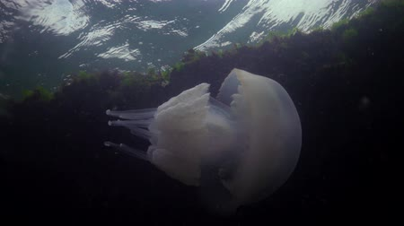 invasione : (Rhizostoma pulmo), commonly known as the jellyfish Black sea