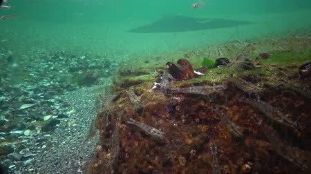 crawfish : The Odessa Gulf. (Palaemon adspersus) is commonly called Baltic Sea. Stock Footage