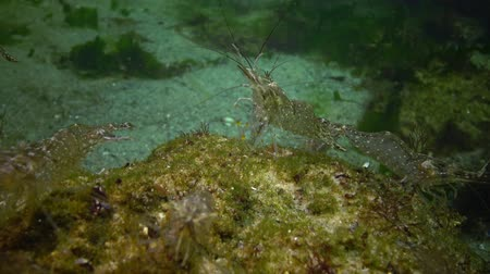 palaemon : The Odessa Gulf. (Palaemon adspersus) is commonly called Baltic Sea. Stock Footage