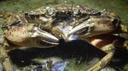 prawns : Nutrition of Green crab or Shore crab (Carcinus maenas, Carcinus aestuarii), crayfish Black sea