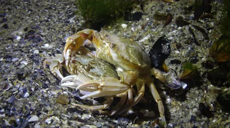 crawfish : Reproduction of crabs (Liocarcinus holsatus). Male and female before mating. Black sea