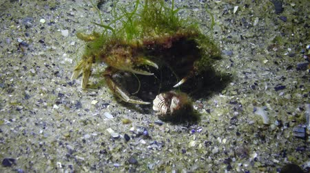 camarão : Flying crab (Liocarcinus holsatus) overgrown with green and red algae. Black Sea, Odessa Bay