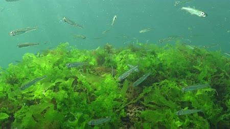 biyolojik : Black Sea big-scale sand smelt (Atherina pontica) among the seaweed. Fish of the Black Sea Stok Video