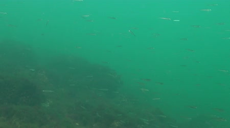 in the wild : Black Sea big-scale sand smelt (Atherina pontica) among the seaweed. Fish of the Black Sea Stock Footage