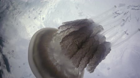 saltwater : (Rhizostoma pulmo); Black sea
