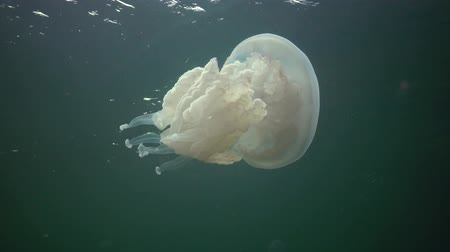 scyphozoa : (Rhizostoma pulmo); Black sea