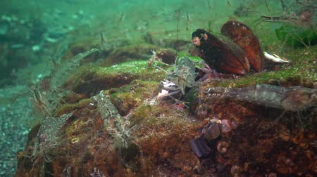 palaemon : Palaemon adspersus, commonly known as the Baltic Sea. Stock Footage