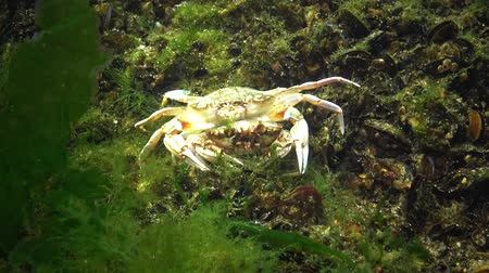 homar : Flying swimming crab (Liocarcinus holsatus): male retains before mating