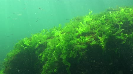 catch : Black Sea big-scale sand smelt (Atherina pontica) among the seaweed. Fish of the Black Sea Stock Footage